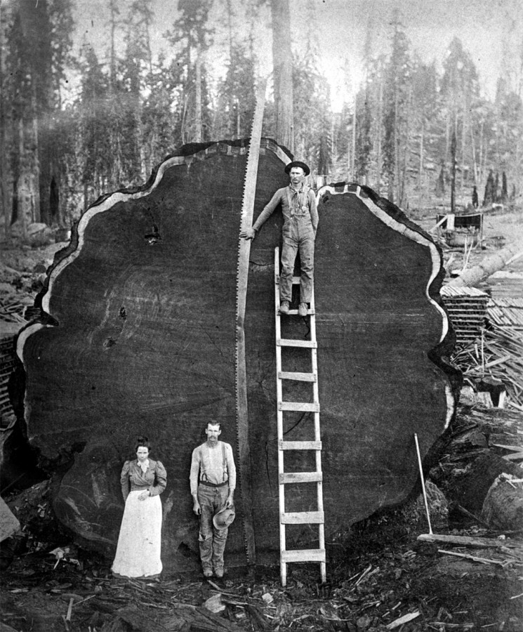 A_giant_sequoia